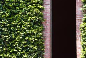 On solid masonry walls, ivy complements the architecture.