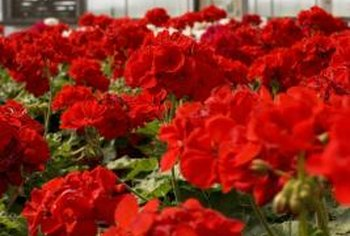 The wide selection of colors and varieties of geraniums make them a popular addition to any garden.