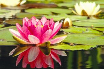 Lilies are one of the most striking pond plants.