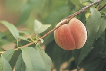 Container grown peach trees produce fewer fruits than those grown in-ground.