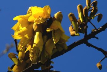 The kowhai's yellow flowers are often referred to as New Zealand's national flower.
