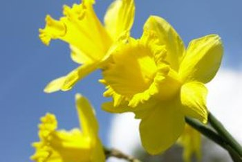 Nothing is as cheery as the bright yellow blooms of the daffodil.