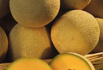 Cantaloupes take up to 45 days to develop from pollinated blossoms.