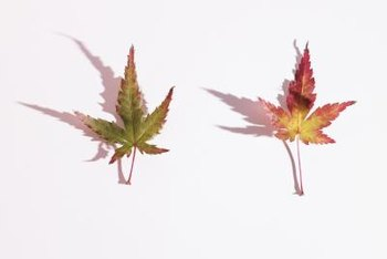 Some plants have leaves similar to Japanese maples.