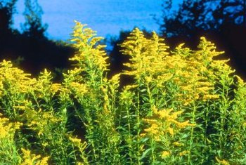 Some species of goldenrod are native to North America and grow on hillsides.
