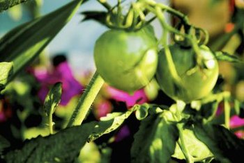 Blossom end rot can occur in very young, green tomatoes.