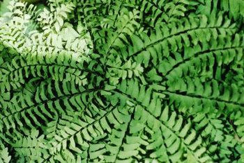 Some of the oldest known plants are ferns.