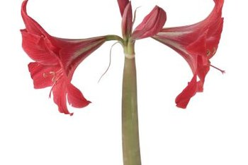 """Red Lion"" amaryllis has several flowers per stalk."