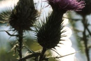 Cut Back Thistles As Soon As They Appear In Spring.
