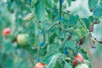 Tomato leaves may wilt in response to a variety of health problems.