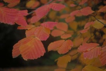 Lacebark elm's leaves change color before dropping.
