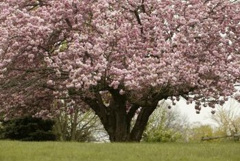 Healthy apple trees will be overflowing with blossoms when mature.