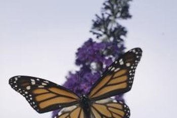 A backyard butterfly garden attracts many colorful butterflies.