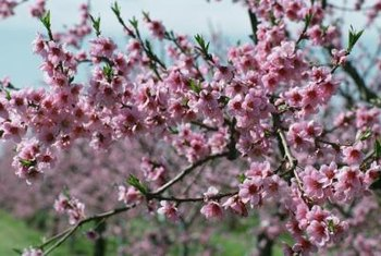 Weeping cherry trees are known for their abundant display of flowers.