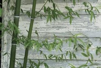 Grow bamboo in containers indoors or outside.