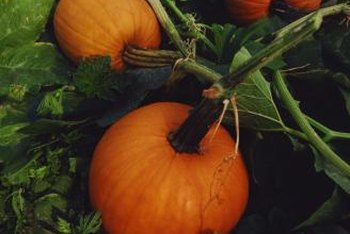 Vines and large leaves are characteristics of cucurbits.