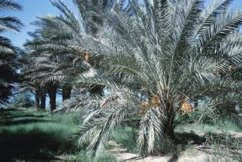 Date palms thrive in soil that is moist but not soggy.