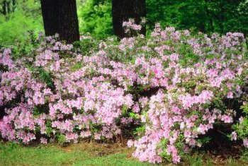 Azaleas bring color and mass to the space beneath trees.