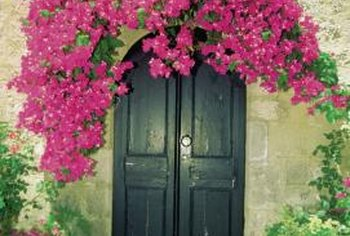 In a few years, a bougainvillea can cover an arbor.