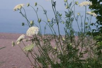 Deadhead queen Anne's lace flowers to prevent self-sowing.