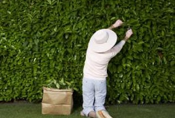 Create a solid wall of shrubbery by placing bushes closer together.