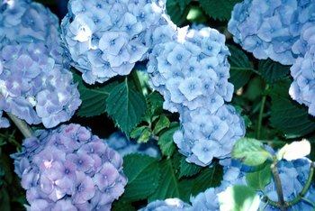 Bigleaf hydrangea blooms are blue in acidic soils and pink in alkaline ones.