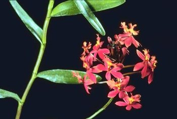 Selective hybridizing helps to cultivate a brilliant yellow and red orchid petal.