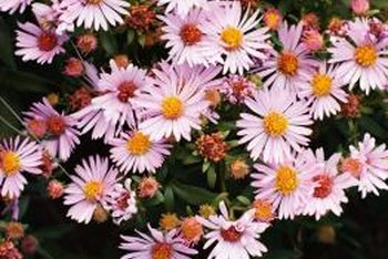 "Pink ""Clara Curtis"" mums (Dendranthema ""Clara Curtis"") reliably overwinter in USDA zones 4 through 9."