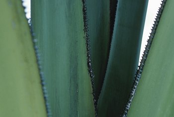 Aloe will thrive in full sun and well-draining soil in hot climates.