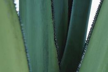 Diseases can cause leaf spots and other damage to aloe plants.