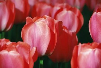 The cup-shaped tulip grows about 18 inches tall.