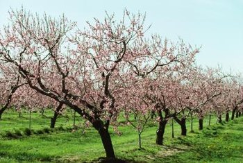 Both peach and almond orchards flower beautifully in the spring.