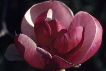 Magnolia flowers may be white, yellow, or shades of pink or purple.