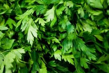 Parsley grows abundantly in rich soil.