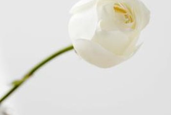 Older varieties of white roses, like Iceberg, can be susceptible to fungal diseases