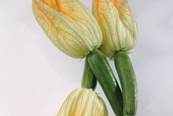 The Romanesco zucchini blossoms are also edible.