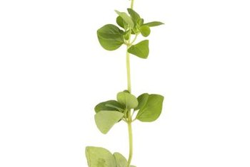 Watercress can be grown from cuttings or from seeds.
