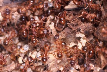 Ants can be beneficial by helping to aerate the soil.