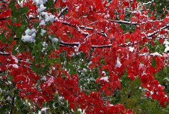 The red maple is valued for its bright fall colors.