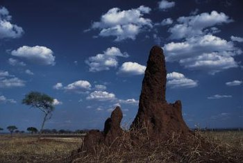 Some termites build mounds.