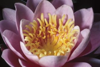 Peony flowers bloom in hues of white, yellow, red, pink and combinations.