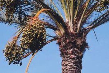 Date palms produce large numbers of dates, each with its own seed.