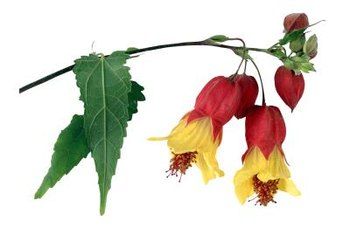 "Abutilon ""Victory"" has bicolored, red and yellow flowers."