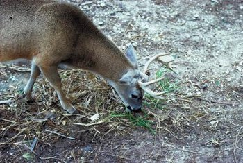 Deer feeding rarely causes severe damage to junipers.