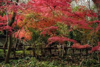 Red Japanese maples create an attractive planting with green woodland trees.
