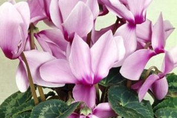 Cyclamens provide winter color indoors or outside.