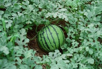 Watermelon vines produce tendrils and can grow on trellises or in hills.