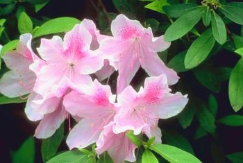 Azaleas yield single blossoms.