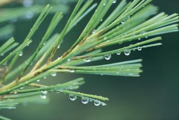 Dried pine needles can cover bare ground.