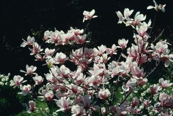 Magnolia blossoms often precede leaves on deciduous trees.